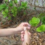 環境人間キャンパス内の植生からの酵母菌の分離培養